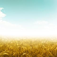 field wheat