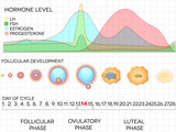 Menstrual cycle calendar, ovulation process, hormone levels