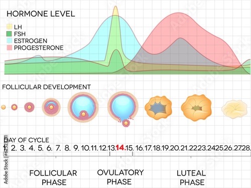Menstrual cycle calendar, ovulation process, hormone levels - 62523211