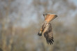 Diving Red Kite