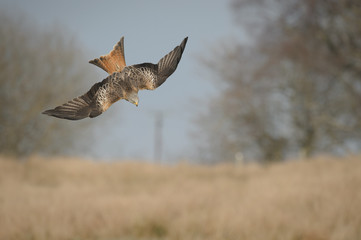 Red Kite in a dive.