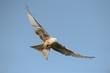 Red Kite - Leucistic form