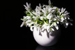 Beautiful snowdrops in vase, isolated on black