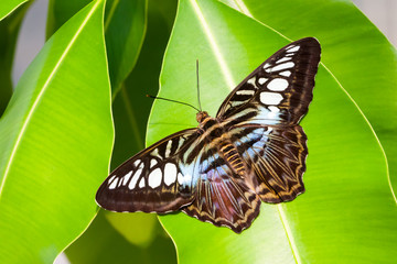 blue tiger striped butterfly