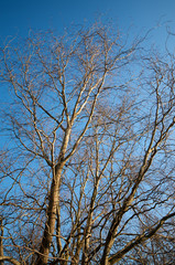 Tree against blue sky in a winter day