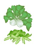 Fresh Green Pok Choi on A White Background