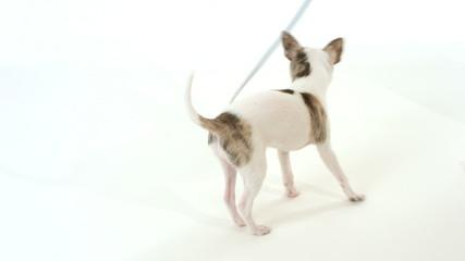 chihuahua dog playing