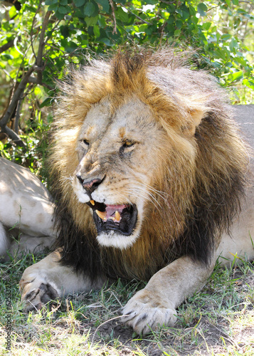 A lion opening his mouth