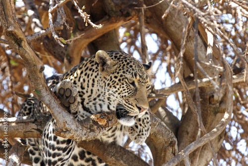 Closeup of a leopard resting on the tree