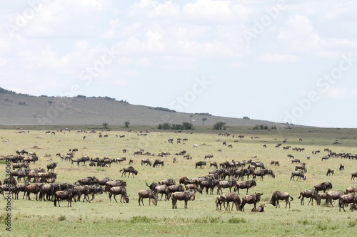 Wildebeests grazing the wide spread grassland