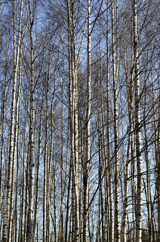 trunks of birch trees in spring grove