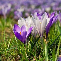 Krokusse im Frühjahr