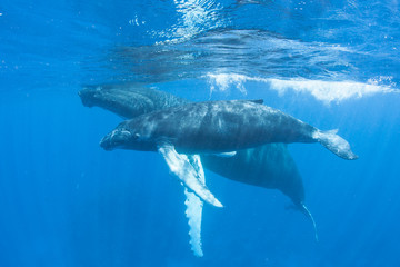 Humpback Mother and Calf