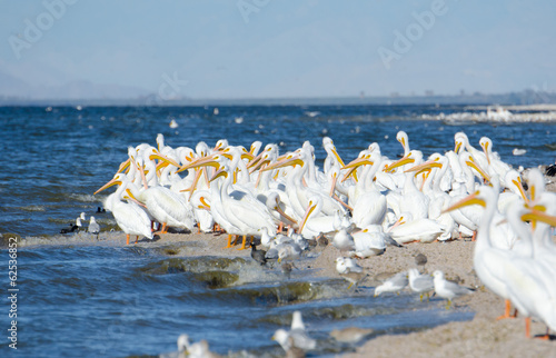 American White Pelicans, California, US