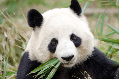 Leinwandbild Motiv Giant Panda eating bamboo, Chengdu, China
