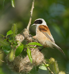 Eurasian Penduline Tit on the nest