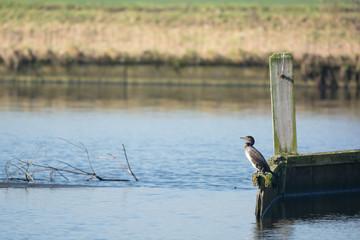 Great Cormorant on pole