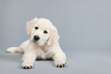 Puppy golden retriever