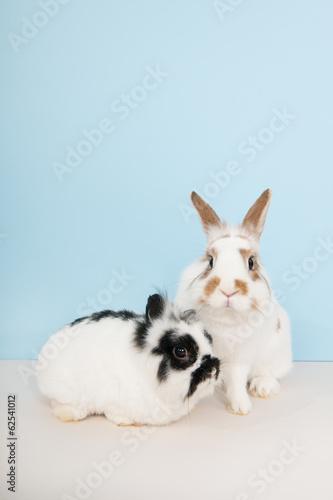Two rabbits on blue background