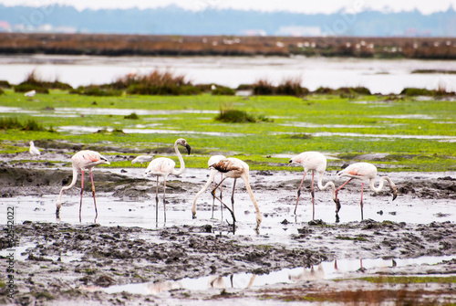 Flamingos on marshes
