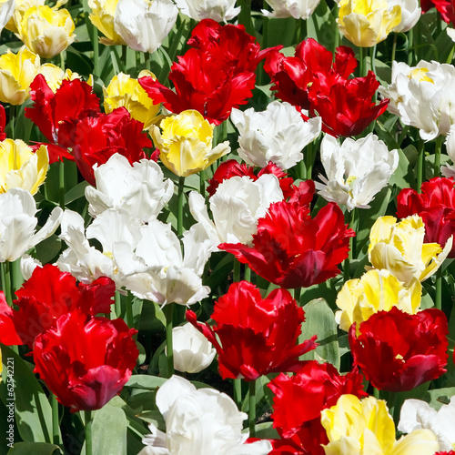 Tulip flowers background