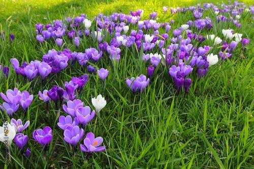 Fotobehang Krokus Spring flowers
