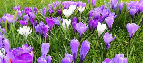 Staande foto Krokussen Spring flowers