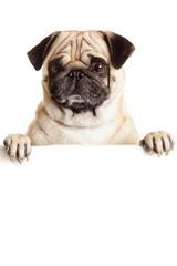 Pug Dog with blank billboard. Dog above banner or sign. Pug dog
