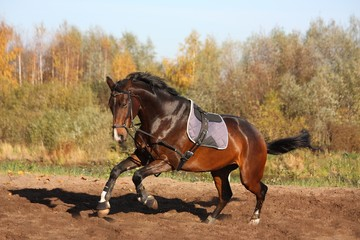 Beautiful bay horse galloping in autumn