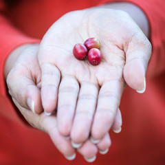 Red coffee beans on hand