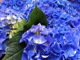 Blue Hortensia flowers.