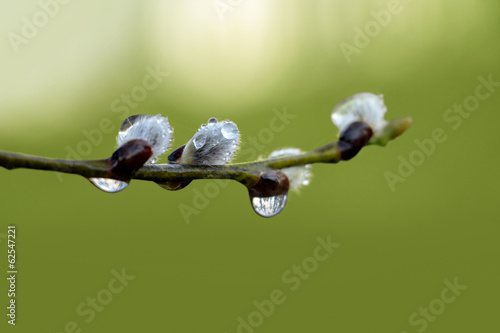 pussy willow with raindrops