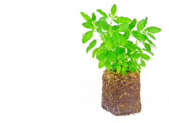 Medicinal holy basil plant isolated
