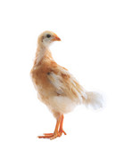 young chicken standin on white background use for livestock and