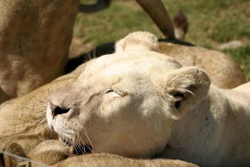Female Lion In The Sun