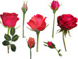 three red roses and four buds collcetion