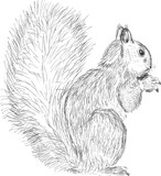 single squirrel sketch isolated on white