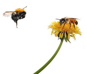 bee and bumblebee near yellow dandelion