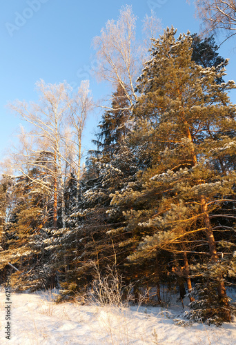 wintry landscape with pines