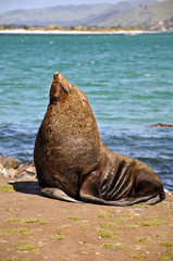 Fur seal, Otago Peninsula, New Zealand