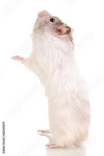 Cute hamster eating from hand isolated white