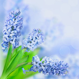 Beautiful flowers blue hyacinth on blurred background.