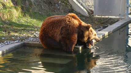 Bear in Bern Zoo Park