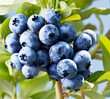 canvas print picture - Blueberries on a shrub.