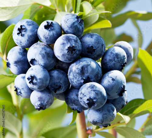 canvas print picture Blueberries on a shrub.