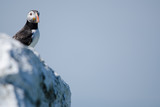 UK Farne Island Puffin