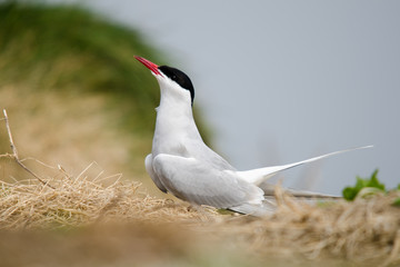 UK Farne Island Arctic Tern