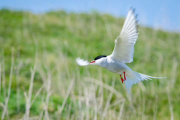 UK Farne Island Artic Tern