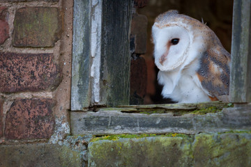 UK Barn Owl