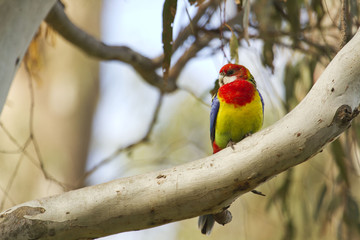 Eastern Rosella on a Gum Tree in Echuca, Victoria, Australia